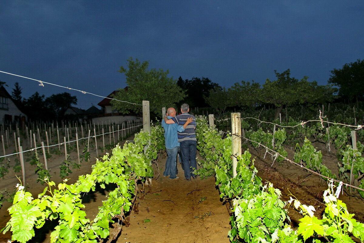 Nyáréjszaka a szőlőskertben