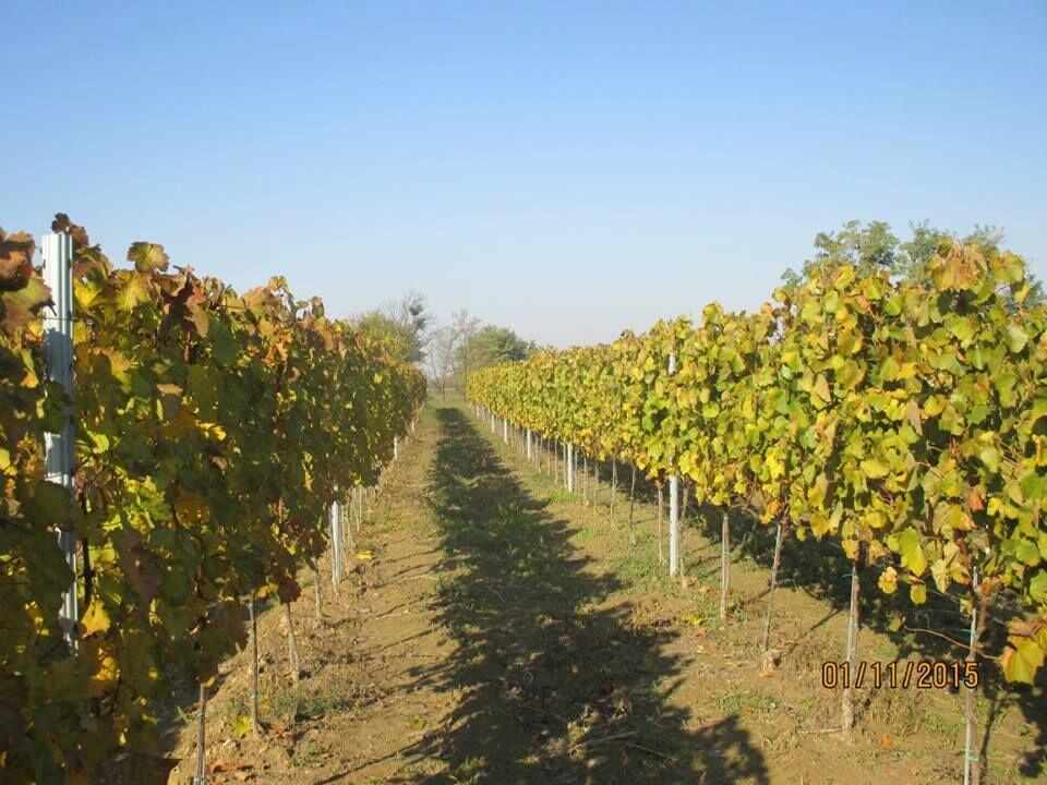 Monori szőlők